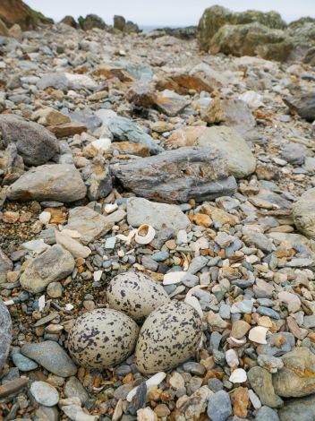 Camoflauged Oystercatcher nest